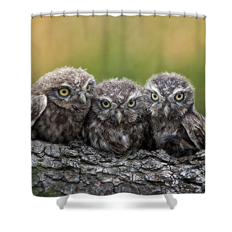 Bird Of Prey Shower Curtain featuring the photograph Three Grimly Goblins by Michael Milfeit