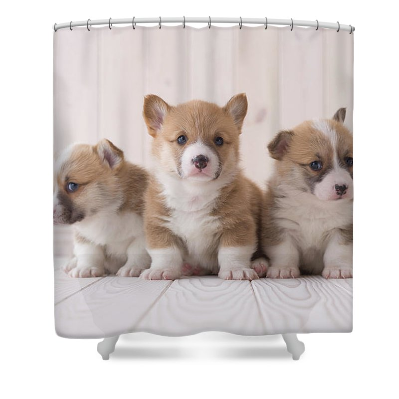 Pets Shower Curtain featuring the photograph Three Pembroke Welsh Corgi Sitting On by Mixa