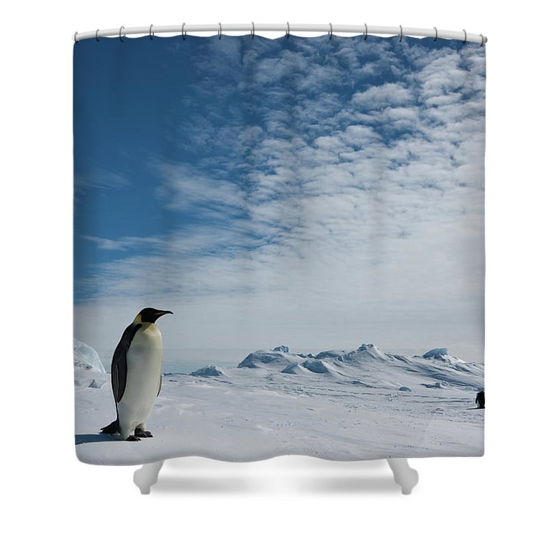 Emperor Penguin Shower Curtain featuring the photograph Two Emperor Penguins by A Gandola