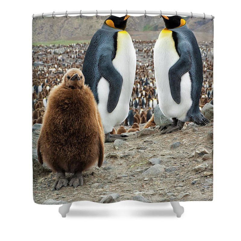 Animals In The Wild Shower Curtain featuring the photograph Two King Penguins And A Chick by Gabrielle Therin-weise