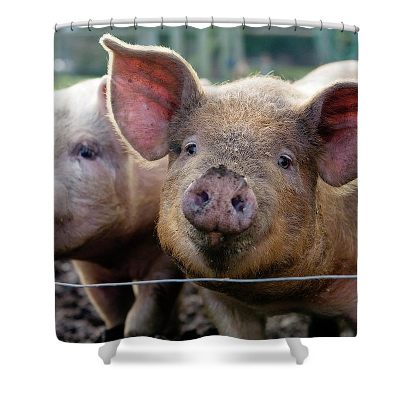 Pig Shower Curtain featuring the photograph Two Pigs On Farm by Charity Burggraaf