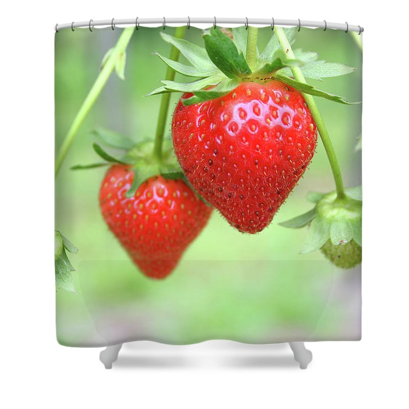 Juicy Shower Curtain featuring the photograph Two Ripe Red Strawberries On The Vine by Hohenhaus