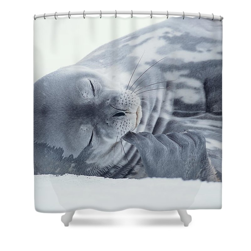 One Animal Shower Curtain featuring the photograph Weddell Seal Leptonychotes Weddellii by Eastcott Momatiuk