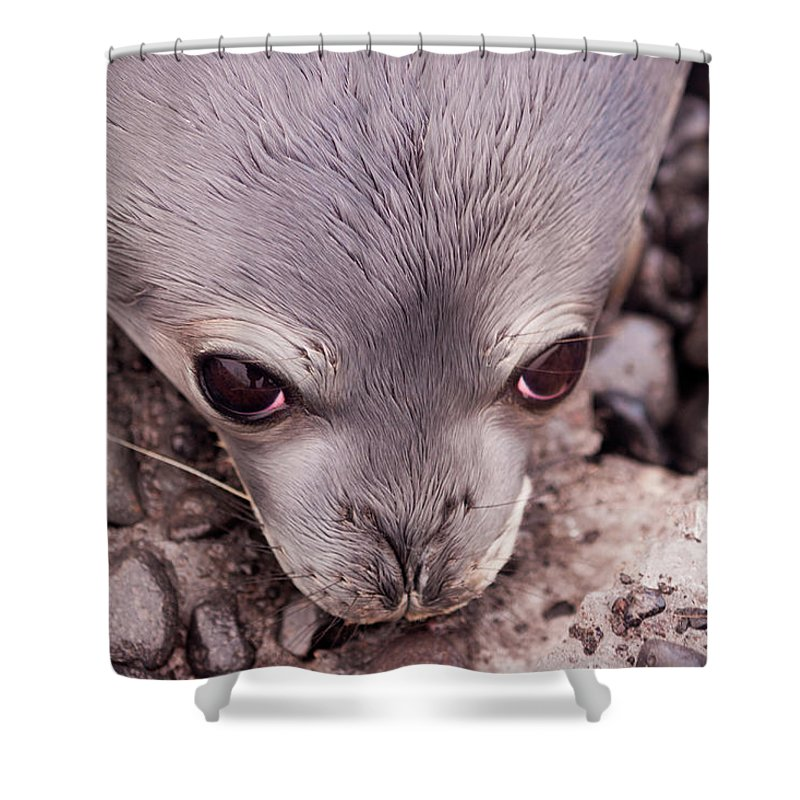 Animal Themes Shower Curtain featuring the photograph Weddell Seal Pup, Antarctica by Mint Images/ Art Wolfe