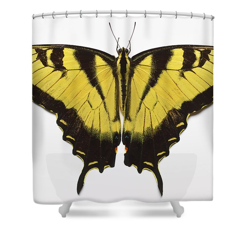 White Background Shower Curtain featuring the photograph Western Tiger Swallowtail Butterfly by Don Farrall