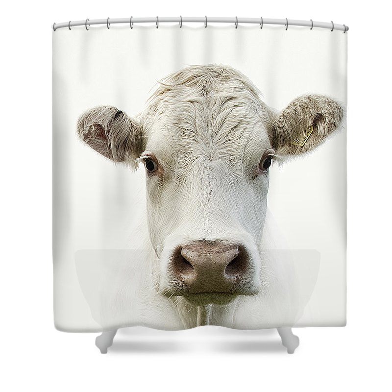 White Background Shower Curtain featuring the photograph White Cow by Jojo1 Photography