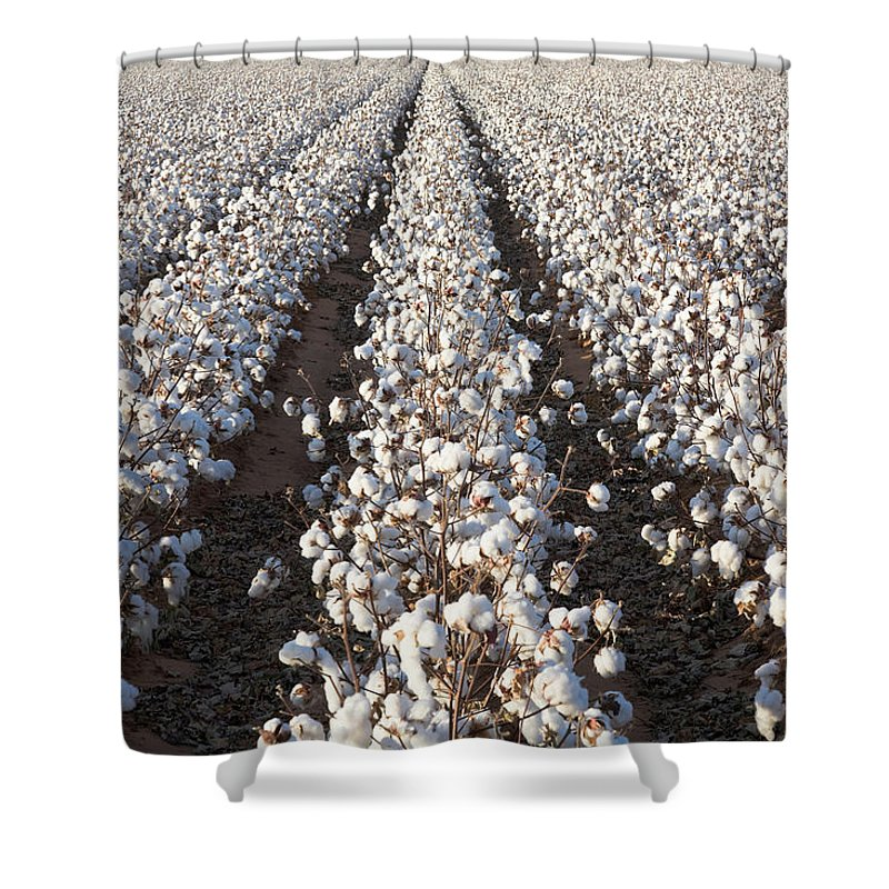 Scenics Shower Curtain featuring the photograph White Ripe Cotton Crop Plants Rows by Dszc
