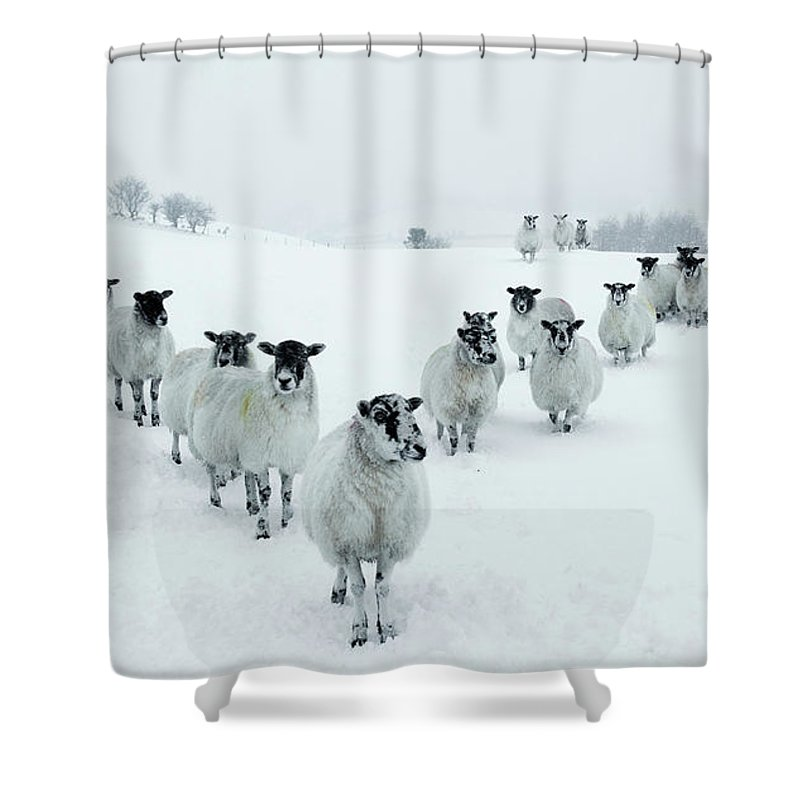 Cool Attitude Shower Curtain featuring the photograph Winter Sheep V Formation by Motorider