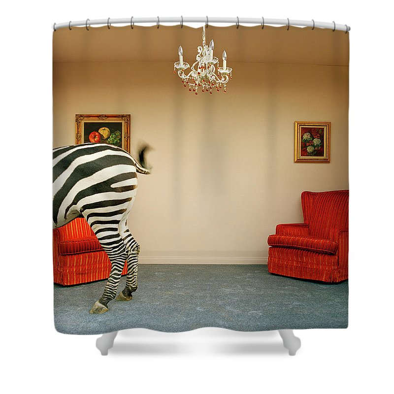 Out Of Context Shower Curtain featuring the photograph Zebra In Living Room Swishing Tail by Matthias Clamer