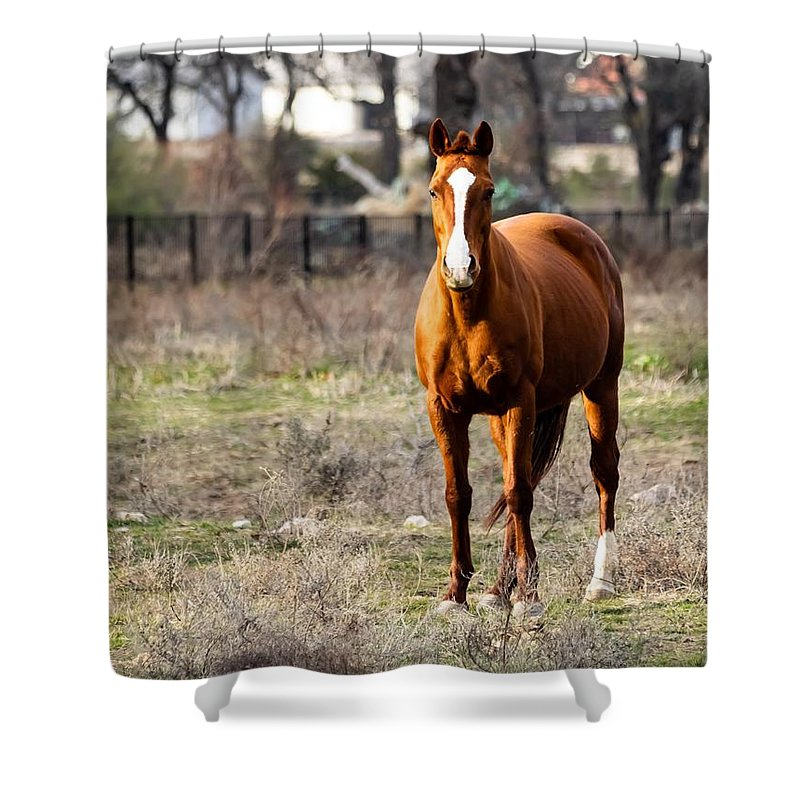 Horse Shower Curtain featuring the photograph Bay Horse 3 by C Winslow Shafer