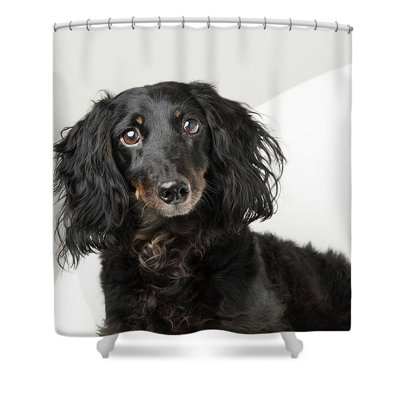 Black Dog Shower Curtain featuring the photograph Dachshund in white chair by Teresa Berg