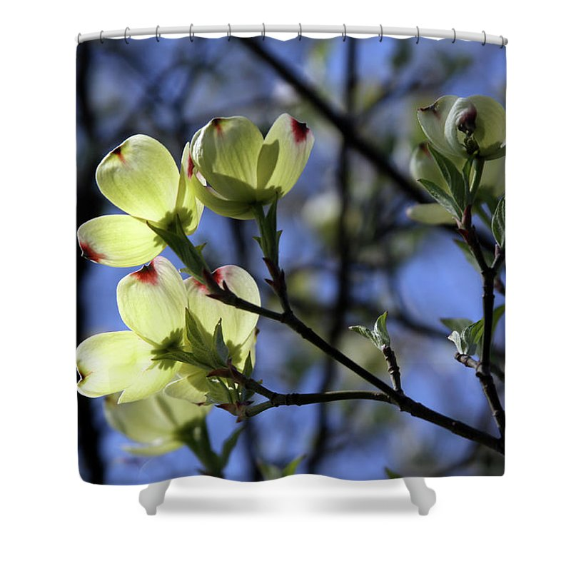 Dogwood Tree Shower Curtain featuring the photograph Dogwood in Sunlight by John Lautermilch