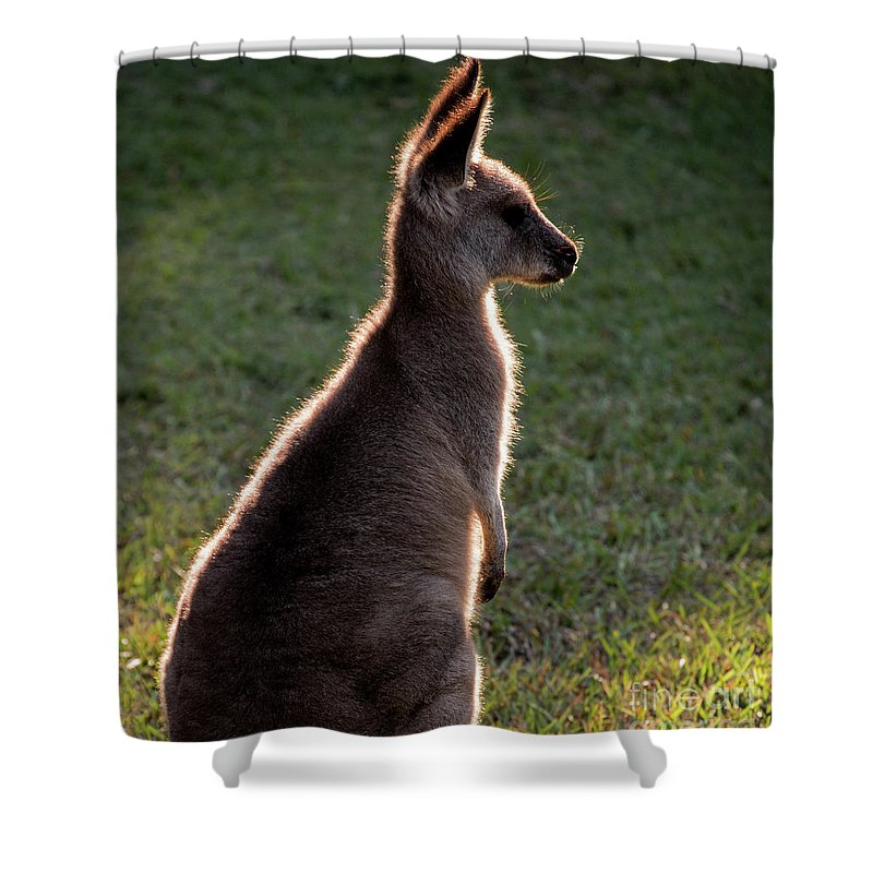 Backlit Eastern Grey Kangaroo Shower Curtain featuring the photograph Young eastern grey kangaroo backlit by Sheila Smart Fine Art Photography