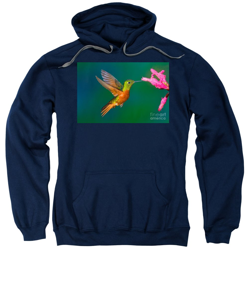 Animal Sweatshirt featuring the photograph Chestnut-breasted Coronet by Anthony Mercieca