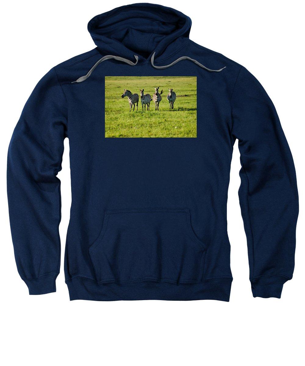 Zebra Sweatshirt featuring the photograph Four Zebras by Menachem Ganon