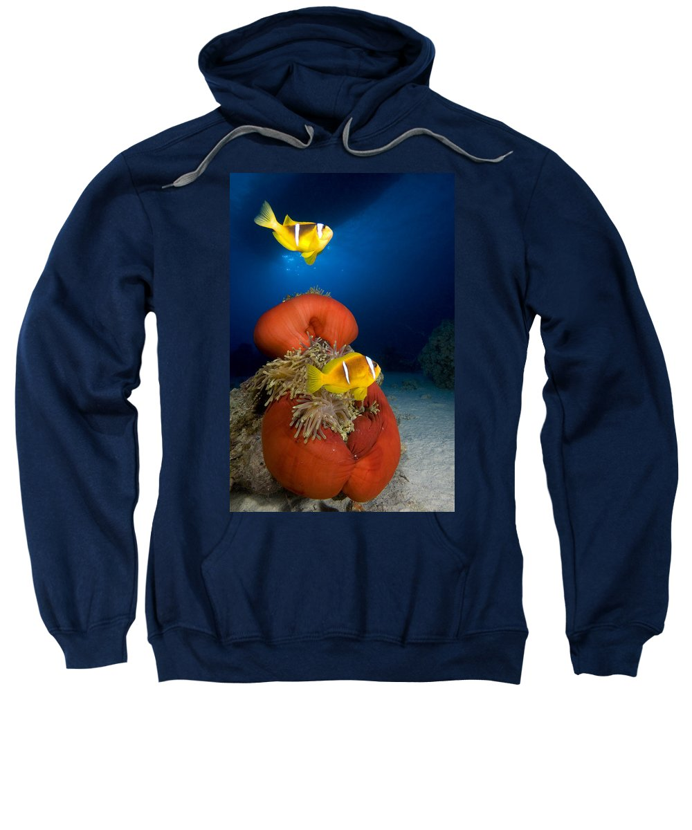 Anemone Sweatshirt featuring the photograph Magnificent Red Anemone With Anemone Fish by Dray Van Beeck