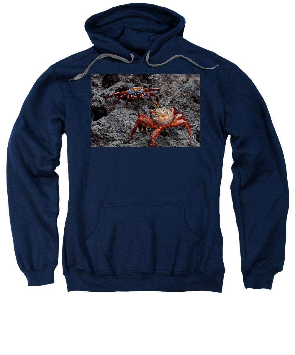 Sally Lightfoot Crab Sweatshirt featuring the photograph Sally Light Foot Crabs Galapagos by Jason O Watson