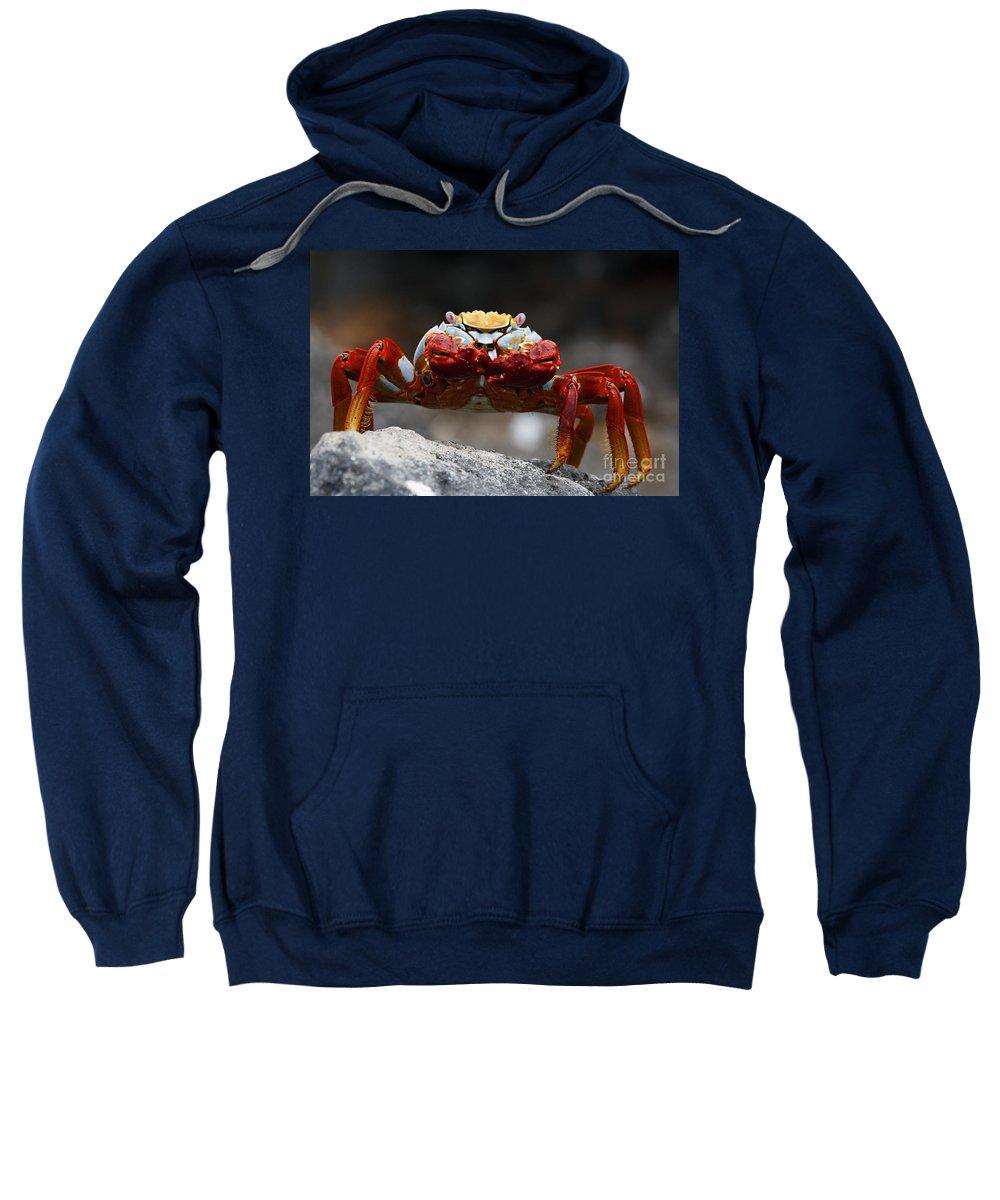 Sally Lightfoot Crab Sweatshirt featuring the photograph Sally Lightfoot Crab Galapagos by Jason O Watson