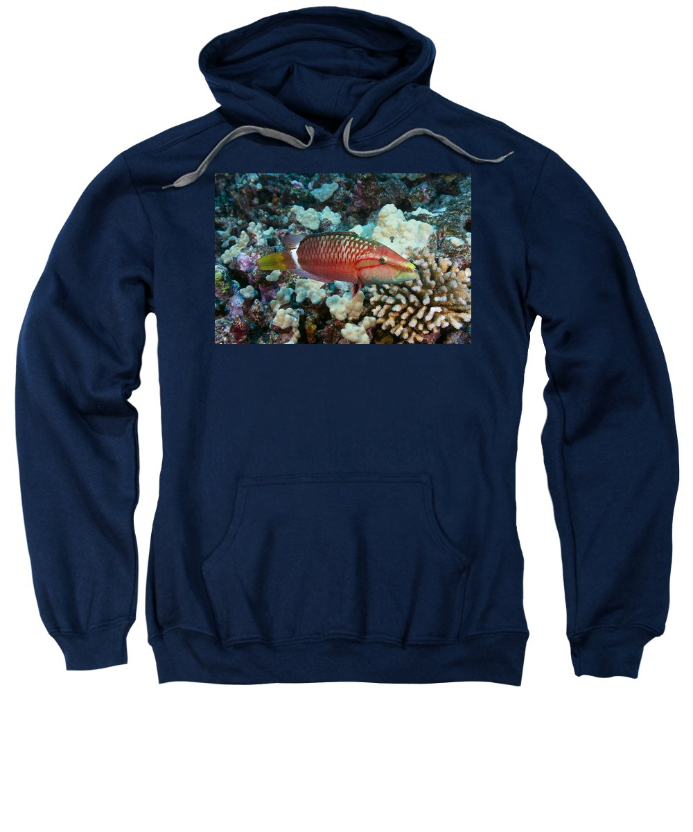 Animal Sweatshirt featuring the photograph Ringtail Wrasse by Dave Fleetham