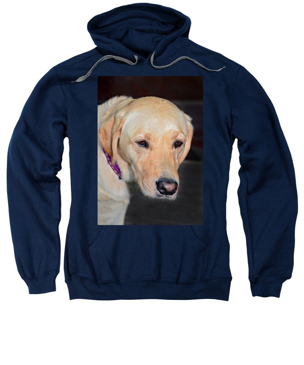 Animal; Retriever; Golden; Dog; Pet; Canine; Purebred; Mammal; Pedigree; Domestic; Breed; Cute; Background; Friend; Doggy; Fur; Beige; Labrador; Looking; Blond; Friendly; Adorable; Yellow; Sweet; Companion Sweatshirt featuring the photograph Someone Call Me by Susan Leggett