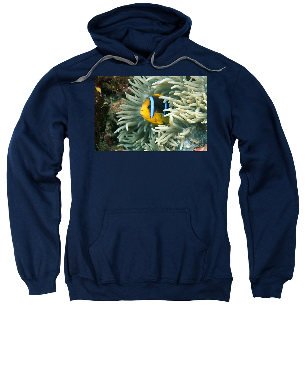 Amphiprion Sweatshirt featuring the photograph Underwater Close-up by Dave Fleetham - Printscapes