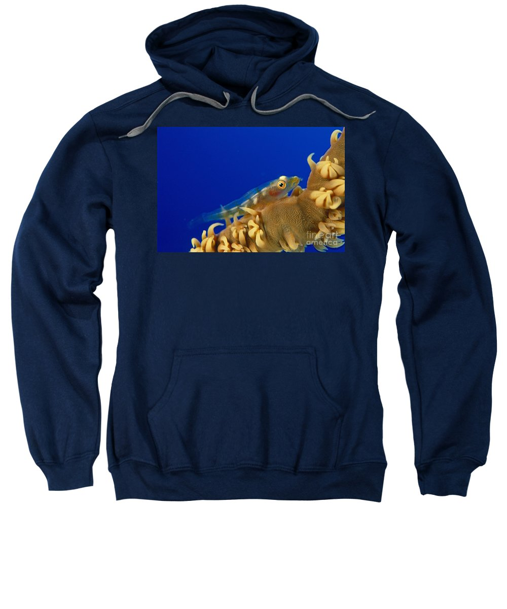 Anguina Sweatshirt featuring the photograph Goby On Wire Coral by Dave Fleetham - Printscapes