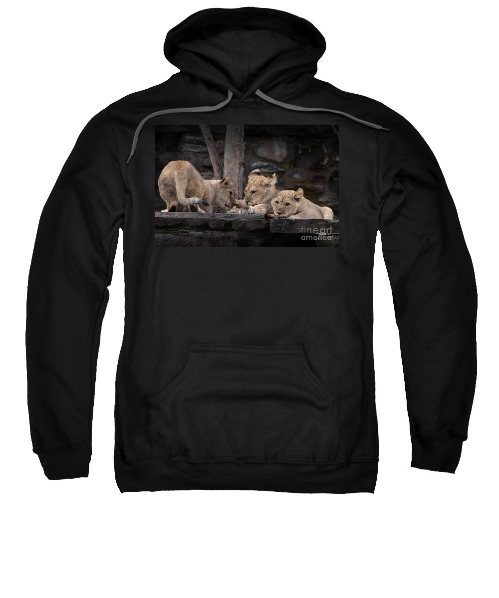 Lion Sweatshirt featuring the photograph Lion Cubs by David Rucker