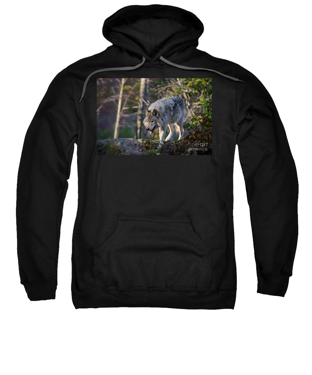 Timber Wolf Photography Sweatshirt featuring the photograph Timber Wolf Pictures by Michael Cummings
