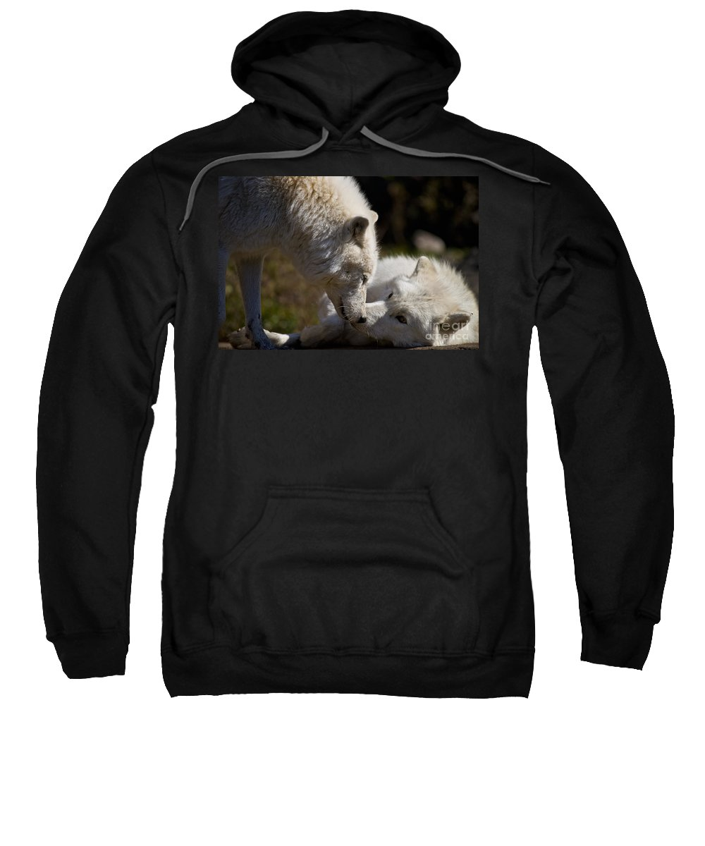 Arctic Wolf Sweatshirt featuring the photograph Arctic Wolf Pictures 1139 by World Wildlife Photography