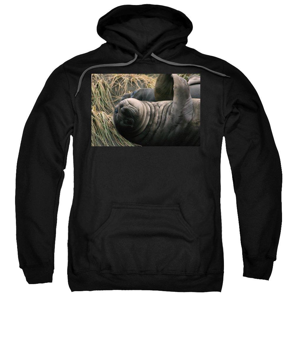 Juvy Elephant Seal Sweatshirt featuring the photograph Cute Seal by Amanda Stadther