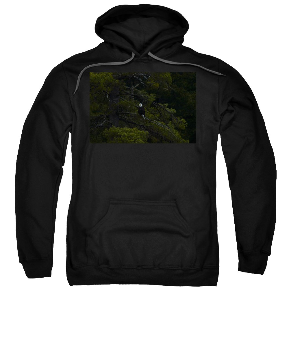 Bald Eagle Sweatshirt featuring the photograph Eagle In White Pine by Thomas Phillips