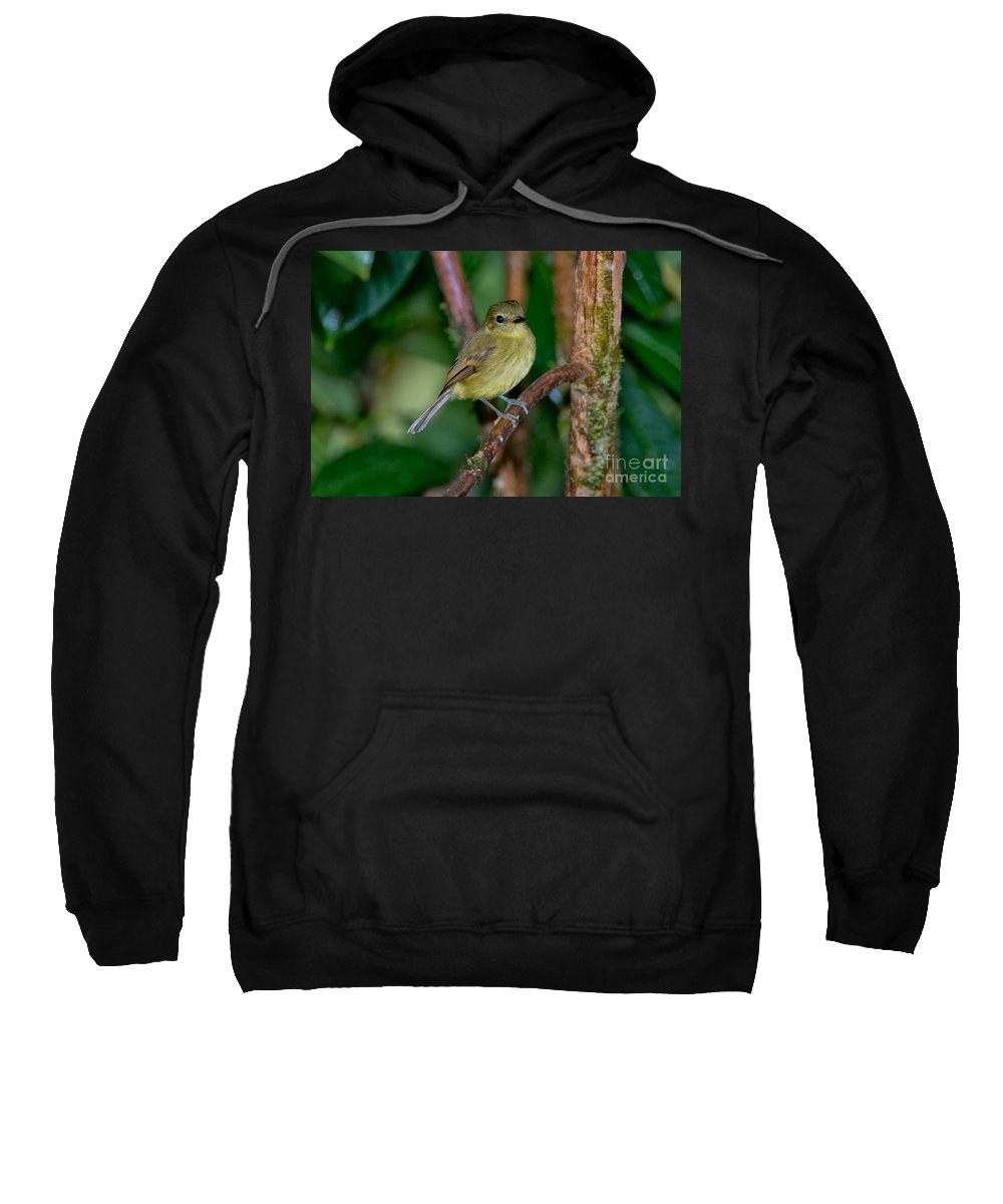 Flavescent Flycatcher Sweatshirt featuring the photograph Flavescent Flycatcher by Anthony Mercieca
