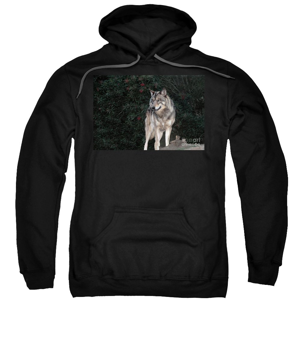 Gray Wolf Sweatshirt featuring the photograph Gray Wolf Endangered Species Wildlife Rescue by Dave Welling
