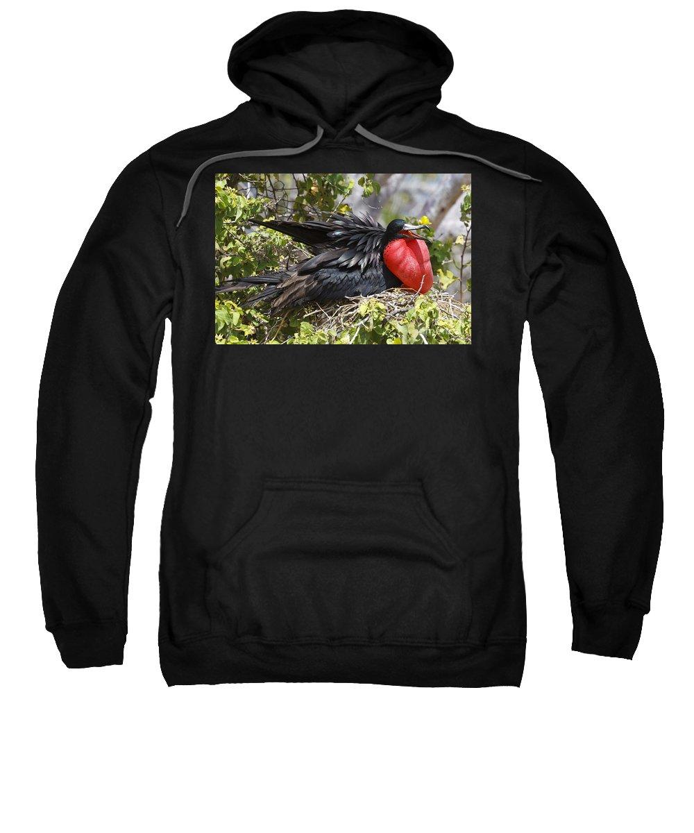 Magnificent Frigatebird Sweatshirt featuring the photograph Magnificent Frigatebird Galapagos by Jason O Watson