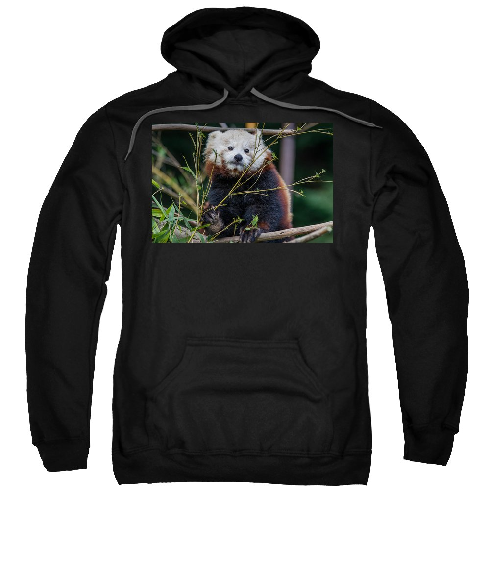 Red Panda Sweatshirt featuring the photograph Mohu The Teenage Red Panda by Greg Nyquist
