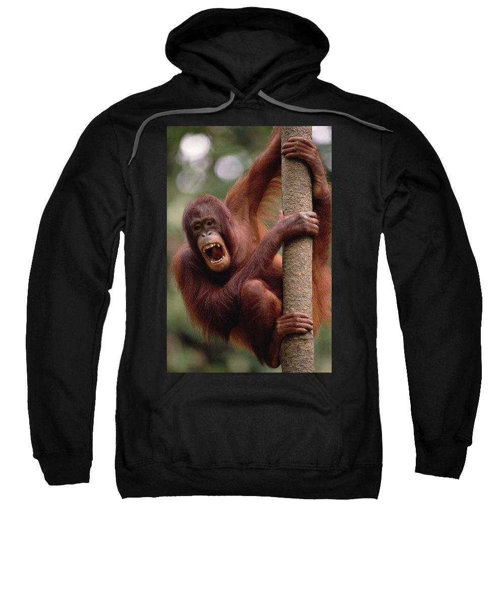 Borneo Sweatshirt featuring the photograph Orangutan Hanging On Tree by Gerry Ellis