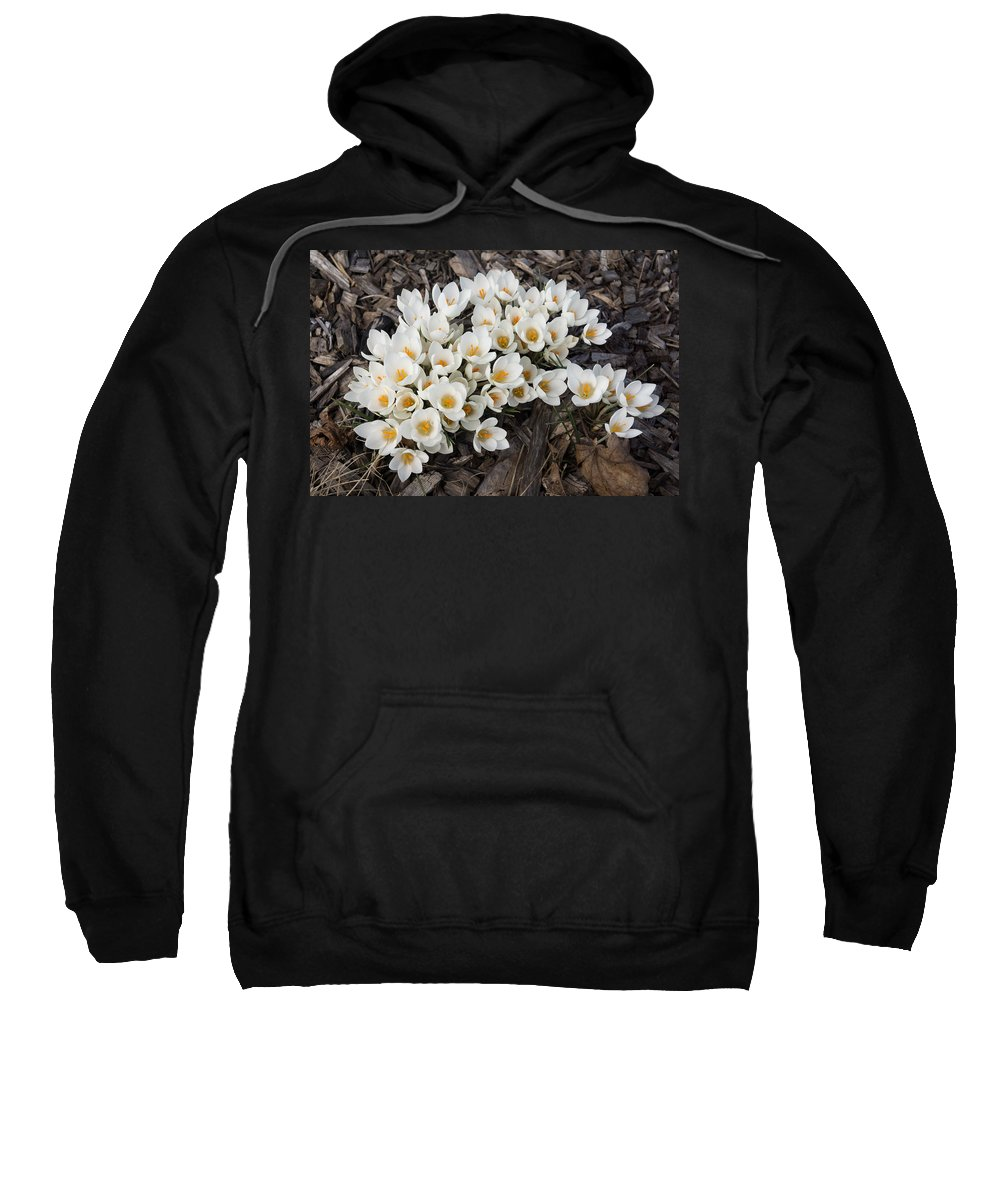 Springtime Abundance Sweatshirt featuring the photograph Springtime Abundance - A Bouquet Of Pure White Crocuses by Georgia Mizuleva