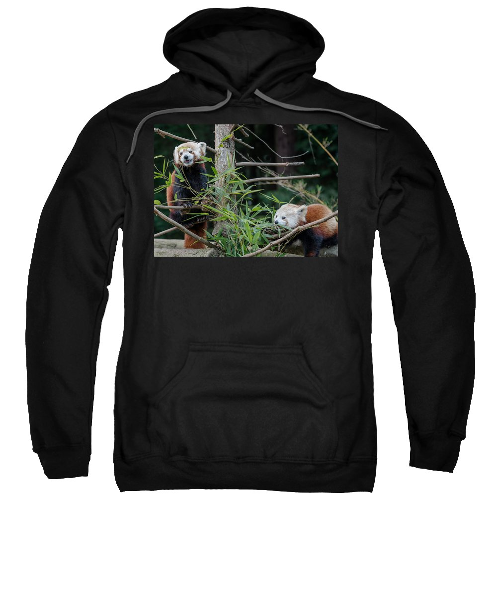Red Pandas Sweatshirt featuring the photograph Sumo And Mohu At Lunch by Greg Nyquist