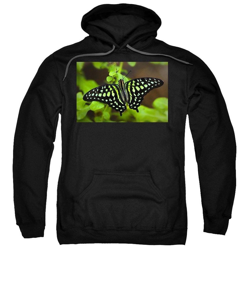 Tailed Green Jay Butterfly Sweatshirt featuring the photograph Tailed Jay Butterfly by Saija Lehtonen