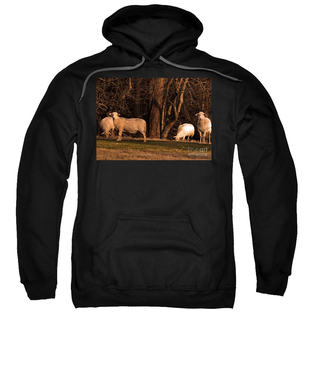 Sheep Sweatshirt featuring the photograph The Gazing And Grazing Sheep by Lydia Holly