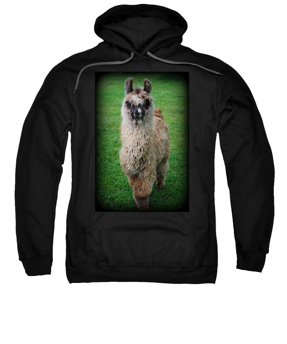 Llama Sweatshirt featuring the photograph Timmy by Kathy Sampson