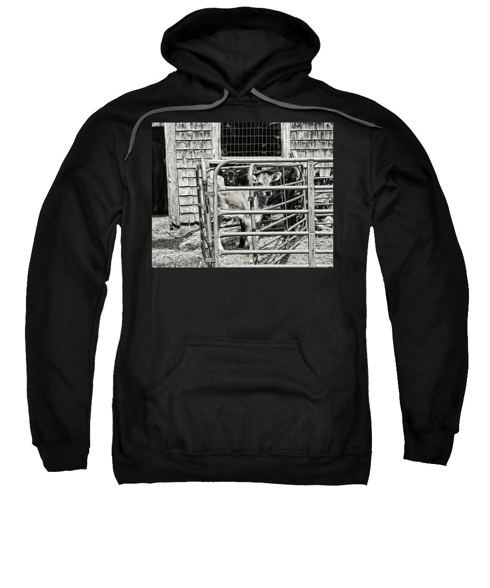 Cow Sweatshirt featuring the photograph Young Cows In Pen Near Barn Maine Photograph by Keith Webber Jr
