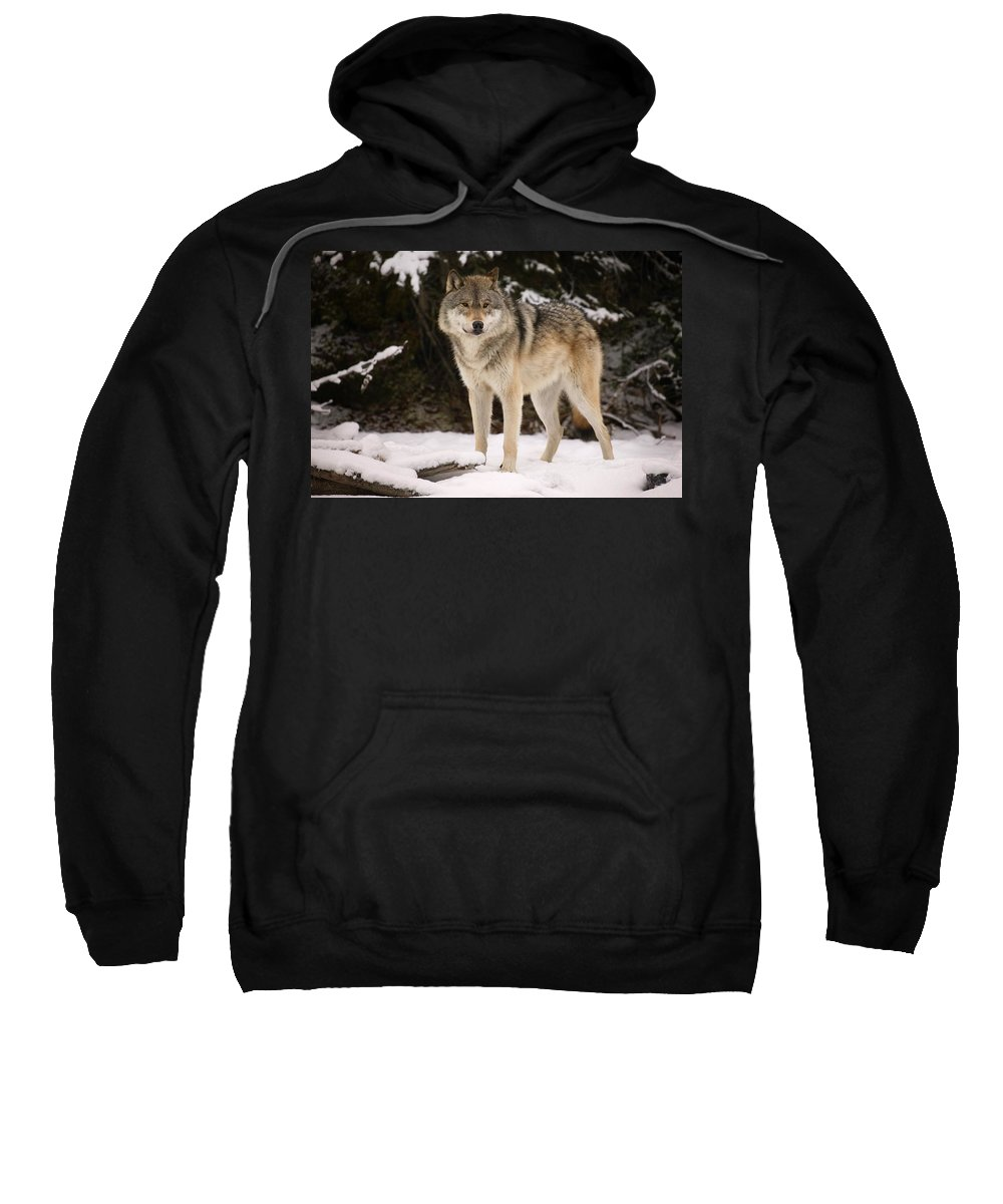 Winter Sweatshirt featuring the photograph Wolf by Don Hammond
