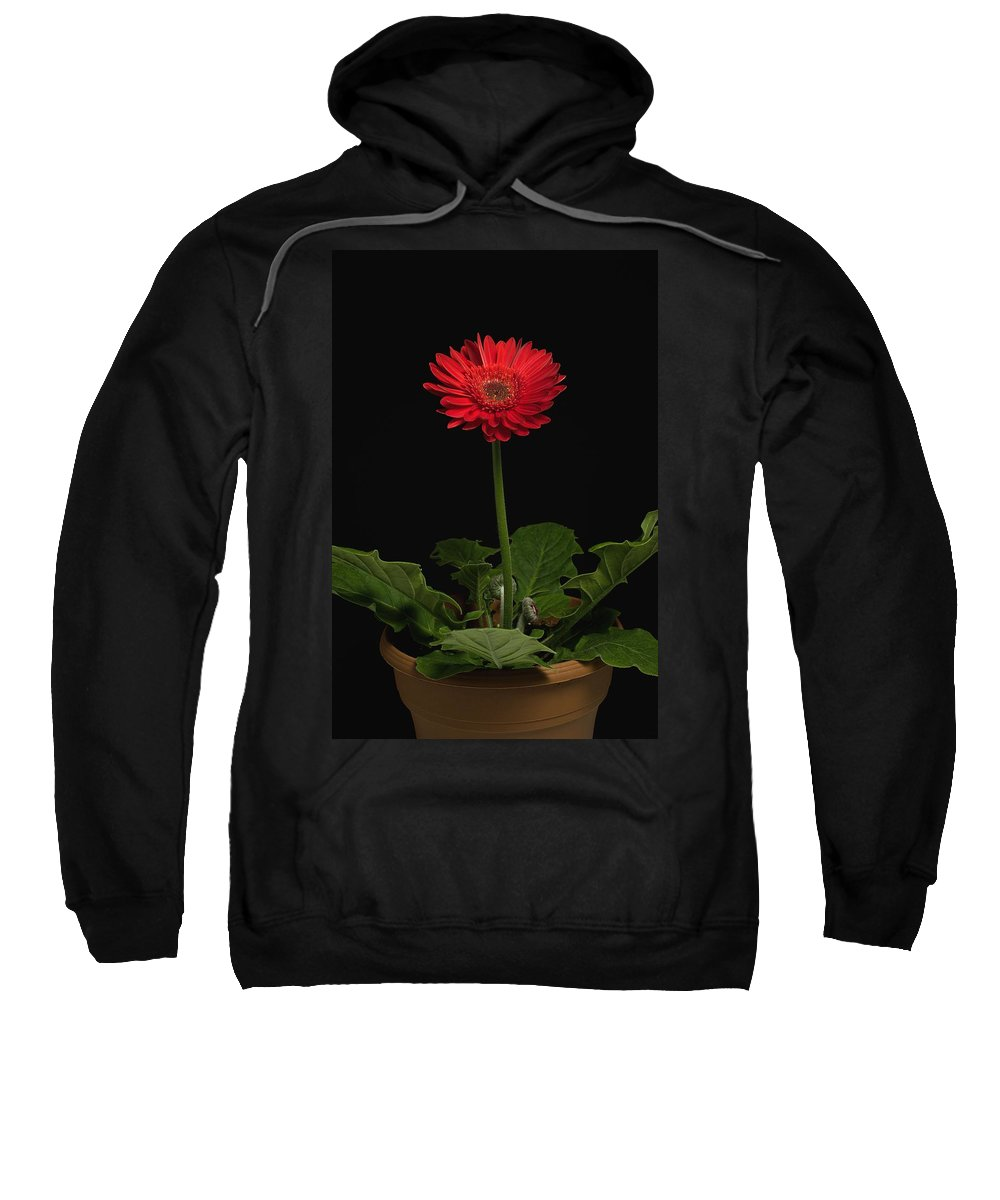Black Background Sweatshirt featuring the photograph A Red Gerbera In A Pot by David Chapman