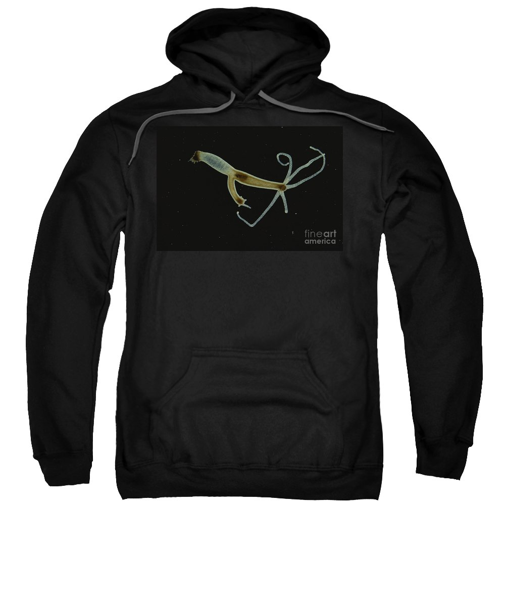 Science Sweatshirt featuring the photograph Brown Hydra With Bud Forming Lm by M. I. Walker