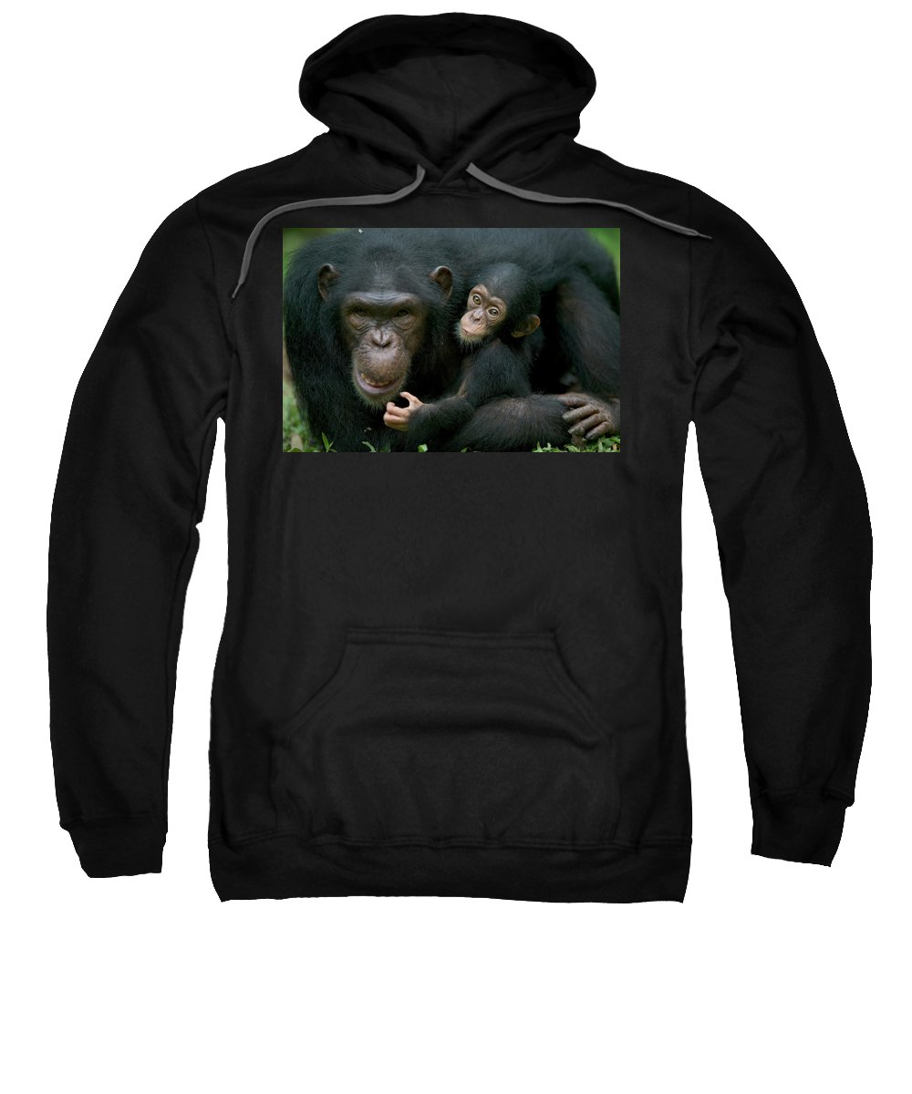 Mp Sweatshirt featuring the photograph Chimpanzee Pan Troglodytes Adult Female by Cyril Ruoso