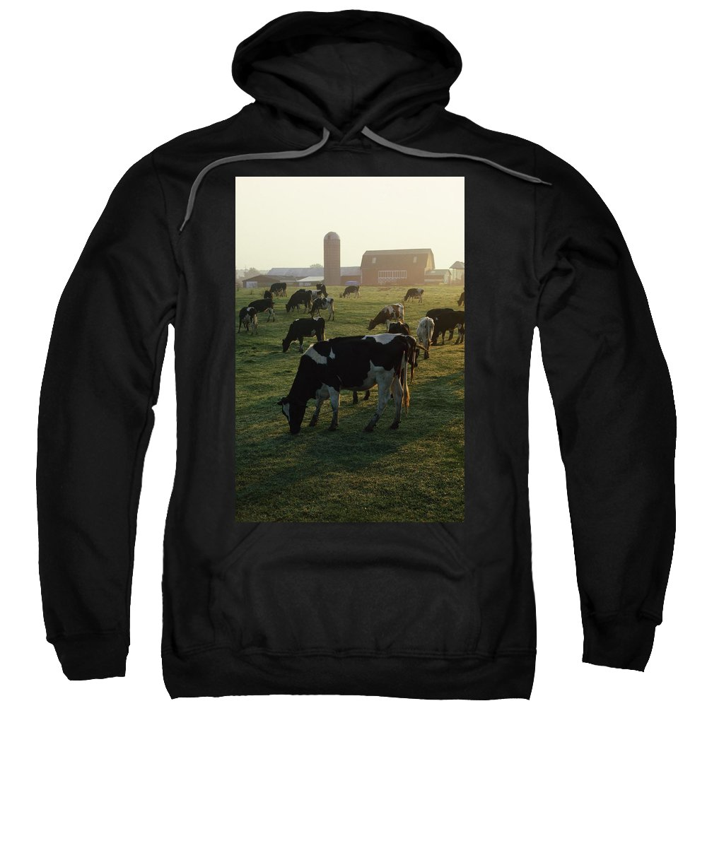 Animal Sweatshirt featuring the photograph Dairy Cattle Grazing by Natural Selection David Spier