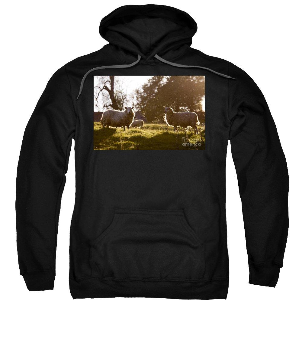 Sheep Sweatshirt featuring the photograph Evening On The Meadow by Angel Ciesniarska