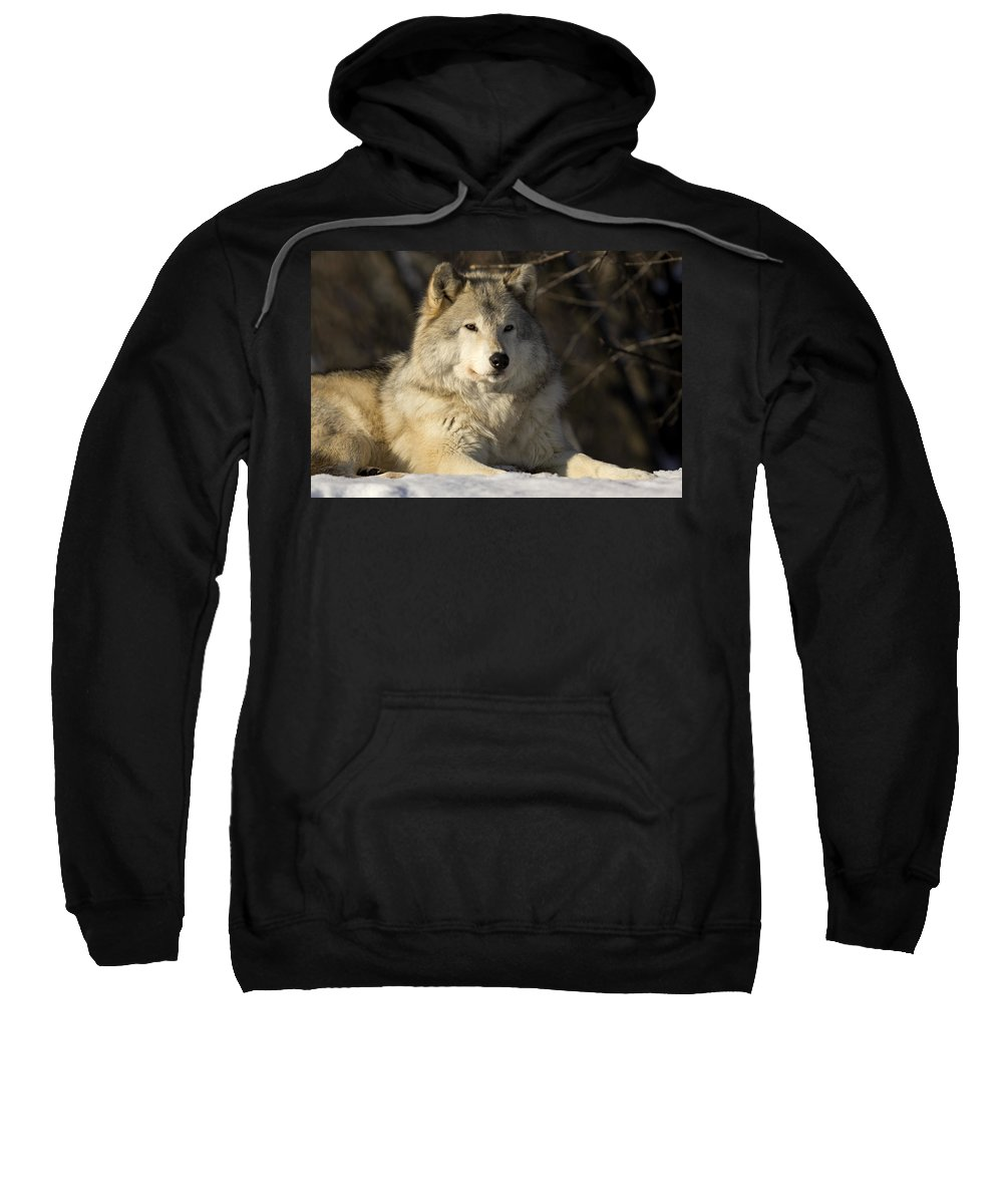 Calm Sweatshirt featuring the photograph Grey Wolf Canis Lupus In Ecomuseum Zoo by Steeve Marcoux