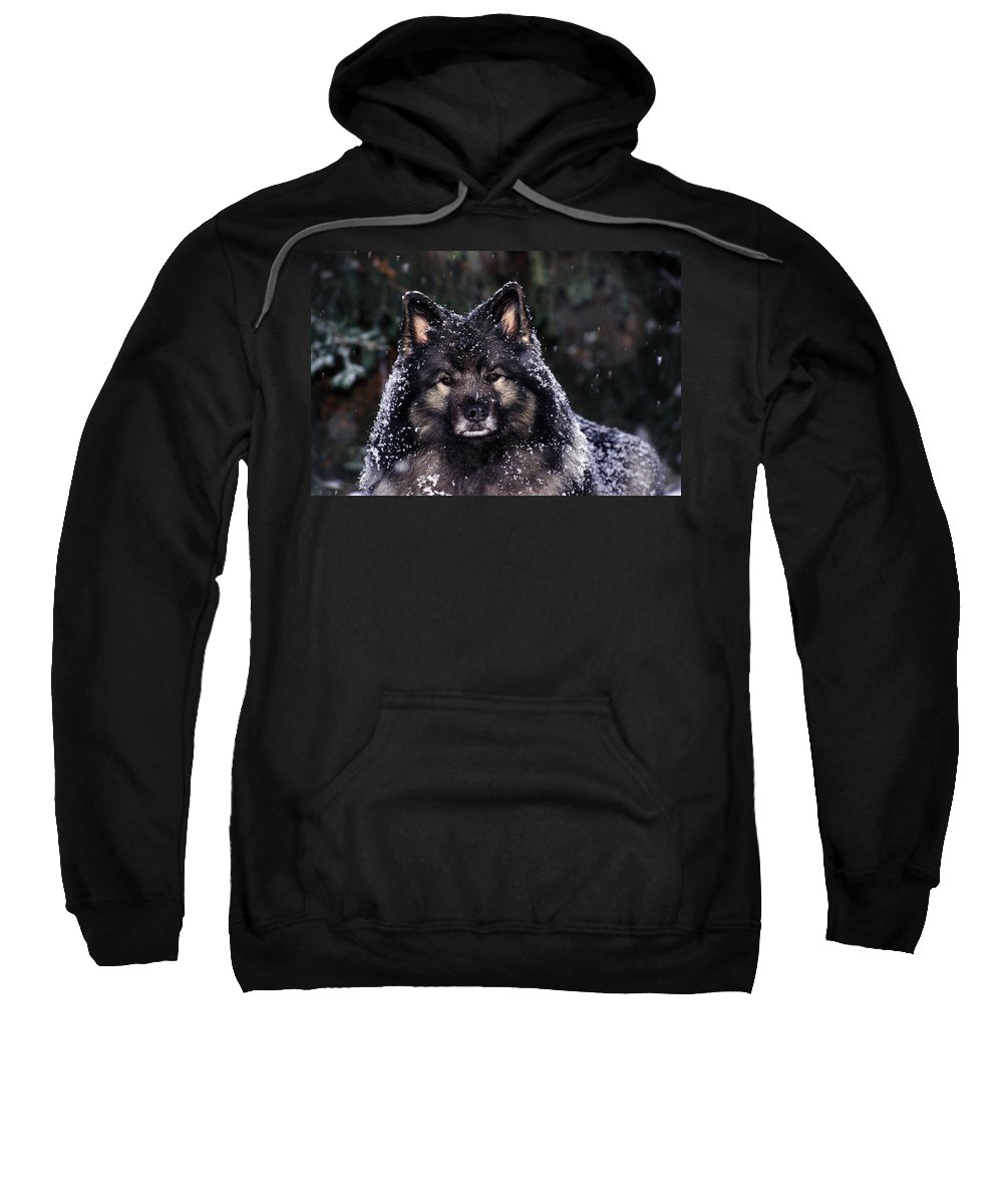 Close Shot Sweatshirt featuring the photograph Keeshond Dog, Winnipeg, Manitoba by Mike Grandmailson